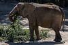 African Elephants - Oakland Zoo #7519