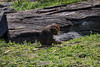 Hamadryas Baboon - Oakland Zoo #7673