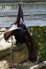 Fruit Bats - Oakland Zoo #7740
