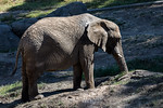 African Elephants - Oakland Zoo #7509