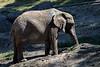 African Elephants - Oakland Zoo #7509