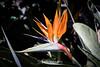 Bird of Paradise Flower - Oakland Zoo #7646