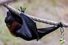 Fruit Bats - Oakland Zoo #4991