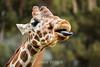 Giraffes - Oakland Zoo #5121