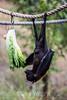 Fruit Bats - Oakland Zoo #5025