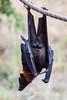 Fruit Bats - Oakland Zoo #4996