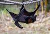 Fruit Bats - Oakland Zoo #5018