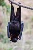 Fruit Bats - Oakland Zoo #4994