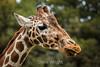 Giraffes - Oakland Zoo #5125