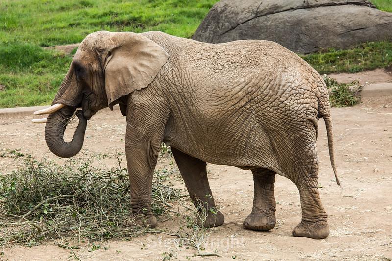 African Elephants - Oakland Zoo #5156