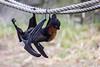 Fruit Bats - Oakland Zoo #5017