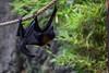 Fruit Bats - Oakland Zoo #5023