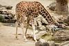 Giraffes - Oakland Zoo #5113