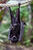 Fruit Bats - Oakland Zoo #4980