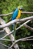Blue and Gold Macaws  #4787