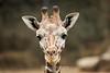 Giraffes - Oakland Zoo #5090