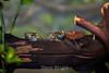 Amazon Mik Frogs - Oakland Zoo #4953