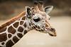 Giraffes - Oakland Zoo #5096
