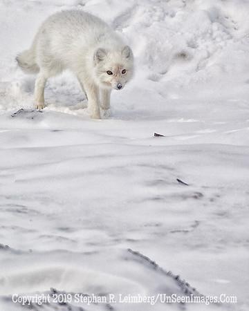 Arctic Fox 12 BL8I3135