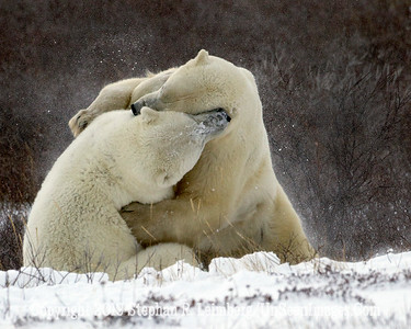 Bears Wrestling_L8I0088