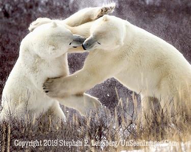 Bears Jousting_L8I9903