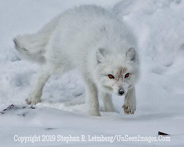 Arctic Fox BL8I3137