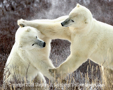 Jousting Bear_L8I9904