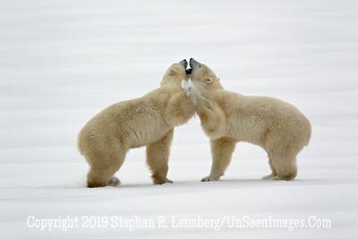 Sparring Bears_L8I1416