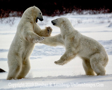 Bears Jousting_L8I4288