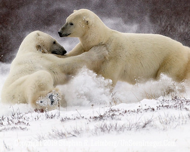 Bears Grappling in Snow_L8I9966