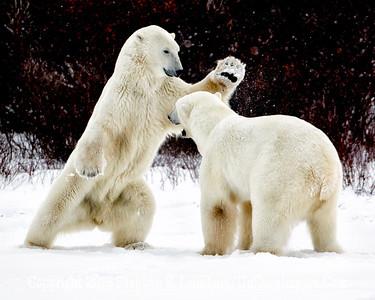Bears Jousting_L8I5314