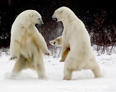 Bears Sparring_L8I5530