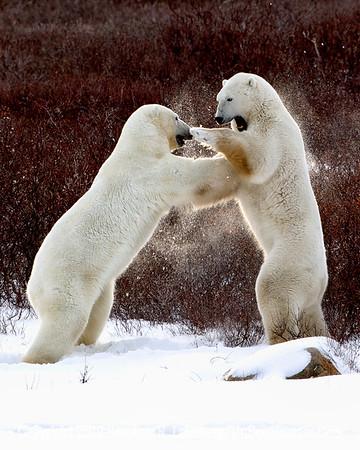 Bears Sparring_L8I4358