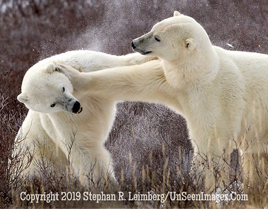 Bears Jousting_L8I9905