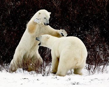 Bears Jousting_L8I5478
