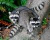 raccoons 018 copy