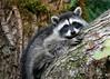 raccoons 059 copy