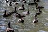 Ducks #8070