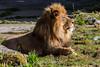 Lion - SF Zoo #7843