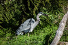 Great Blue Heron #7955