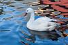 Snow Goose #8022