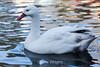 Snow Goose #8033