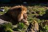 Lion - SF Zoo #7839