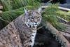 Bobcat - SF Zoo #7902
