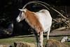 Scimitar Horned Oryx - SF Zoo #7801