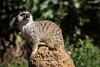 Meerkats - SF Zoo #7977