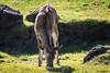 Greater Kudu - SF Zoo #8077