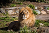 Lion - SF Zoo #7891