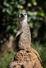 Meerkats - SF Zoo #7979