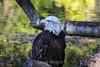 Bald Eagle #7934